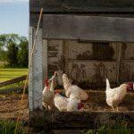 Hühnerstall bauen und einrichten